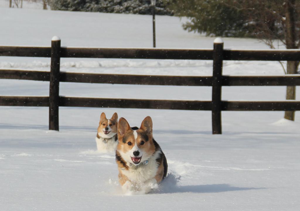running-corgis