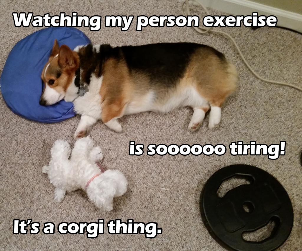 tiring-corgi-exercise