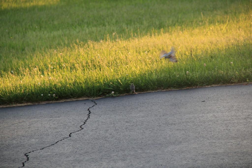 Parent birds swooping near Leia do nothing to discourage the corgi.