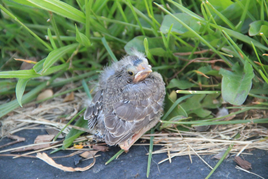 The baby bird manages to plop-flutter to a nearby garden. Almost safe!