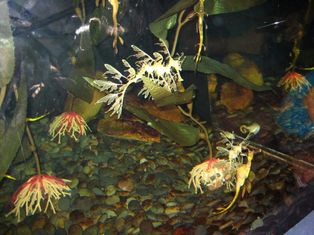 Can you spot the leafy seadragon? Photo taken during my trip to Ripley's Aquarium in South Carolina.