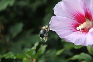 I snapped this shot of a bee pollinating a Rose of Sharon plant in my front garden a few years ago.